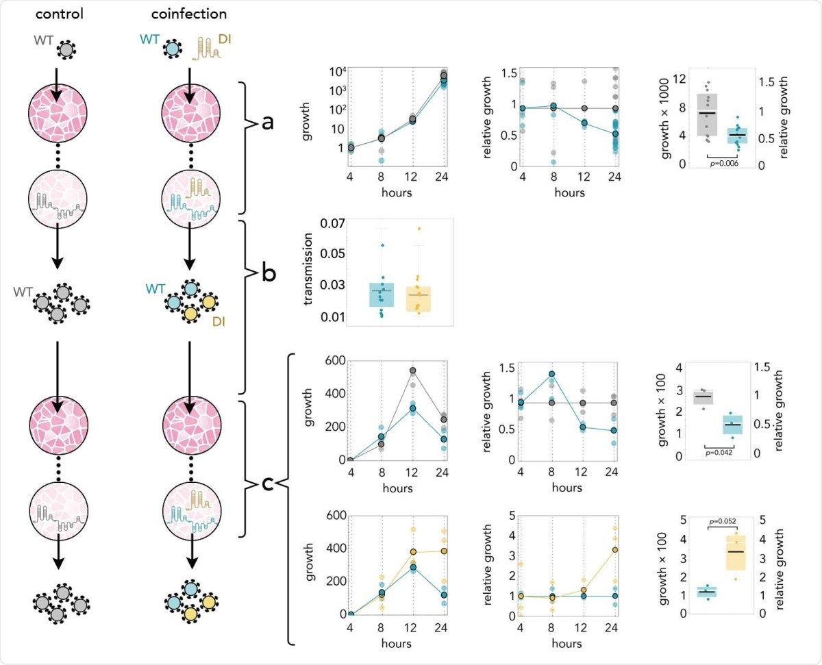 DI reduces the amount of SARS-CoV-2 by half; it replicates 3 times faster; and it is transmitted with the same efficiency. Yellow: DI in coinfections; blue: WT in coinfections; gray: WT in infections without DI. a: Growth rates (absolute amount relative to the amount at 4 hours) of WT in controls and in coinfections; growth relative to controls at the same time point; and detail at 24 hours. b: 24 hours after infection the supernatant was used to infect new cells. The transmission efficiency is the amount measured by qRT-PCR immediately before passaging divided by the average amount measured almost immediately (4 hours) after passaging. c: Growth rates (absolute amount relative to the amount at 4 hours) of WT in controls and in coinfections; growth relative to controls at the same time point; and detail at 24 hours. Growth rates (absolute amount relative to the amount at 4 hours) of WT and DI in coinfections; growth relative to that of WT in coinfections at the same time point; and detail at 24 hours.
