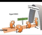 Researchers identify the gene responsible for cellular aging