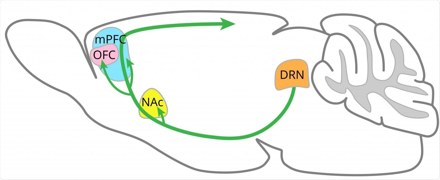 Serotonin-releasing neurons (green arrows) from the dorsal raphe nucleus (DRN) penetrate many other areas of the brain, including the nucleus accumbens (NAc), orbitofrontal cortex (OFC) and medial prefrontal cortex (mPFC).