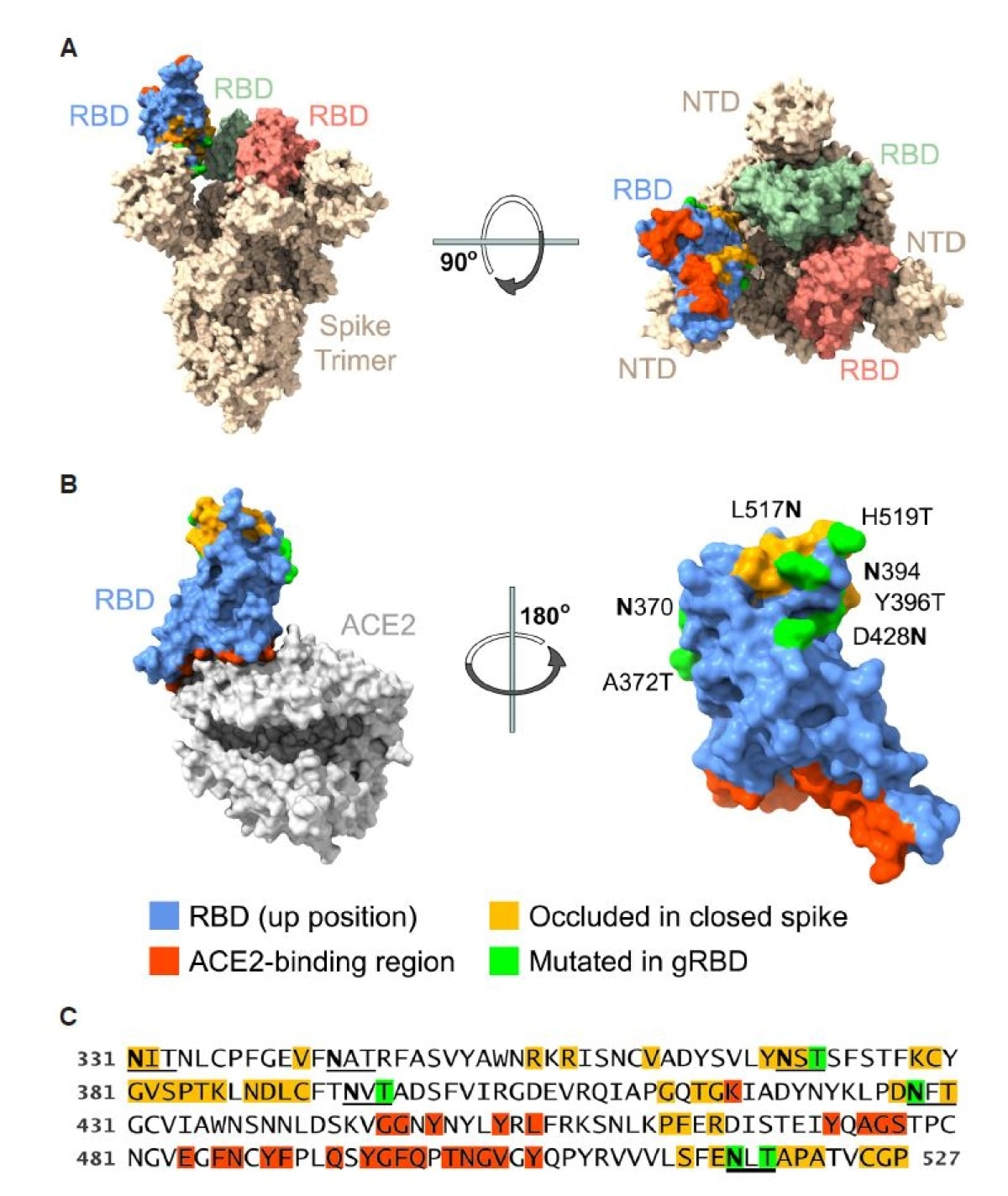 Engineered SARS-CoV-2 RBD glycans enhance expression of multivalent RBD fusion proteins. Views of the RBD (A) in the context of the SARS-CoV-2 S protein in the open one-up conformation, with the ACE2-binding region (red) facing upward and (B) bound to the ACE2 receptor, with the RBD ACE2-binding region facing downwards. Blue indicates surface residues that are neither occluded in the closed conformation (indicated by yellow) nor part of the ACE2 interface (red). Green indicates residues whose mutation creates a novel N-glycoslylation motif. (C) The sequence of the engineered RBD bearing four novel glycosylation motifs (gRBD) is shown. Numbering indicates S-protein residue. Glycosylation motifs (2 native and 4 engineered) are underlined. Coloring is as described in (B).