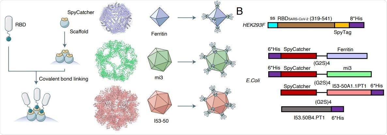 Construcción y características estructurales de nanoparticles RBD-conjugados. (A) Esbozo del diseño del nanoparticle de RBD. El organigrama izquierdo muestra una introducción abreviada a la modificación a RBD y andamios del nanoparticle con la fusión del sistema de SpyTag-SpyCatcher. Los nanoparticles ideales del despliegue correcto del esquema con la valencia completa de RBD. Los colores de cada nanoparticle son comforme a la paleta visualizada de las cartas siguientes.