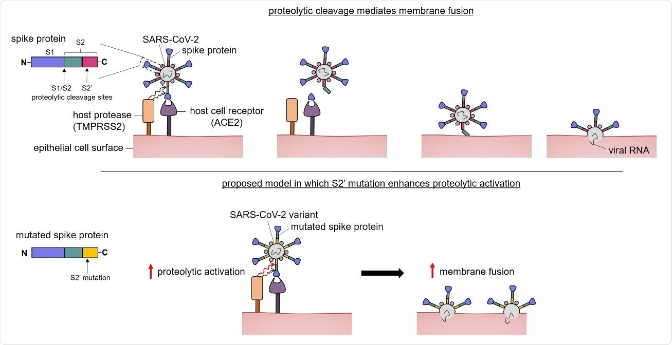 Proposed model showing how the S2 mutation may enhance proteolytic activation. The SARS-CoV-2 spike protein is colored by region (blue—S1, green—S2, magenta—S2