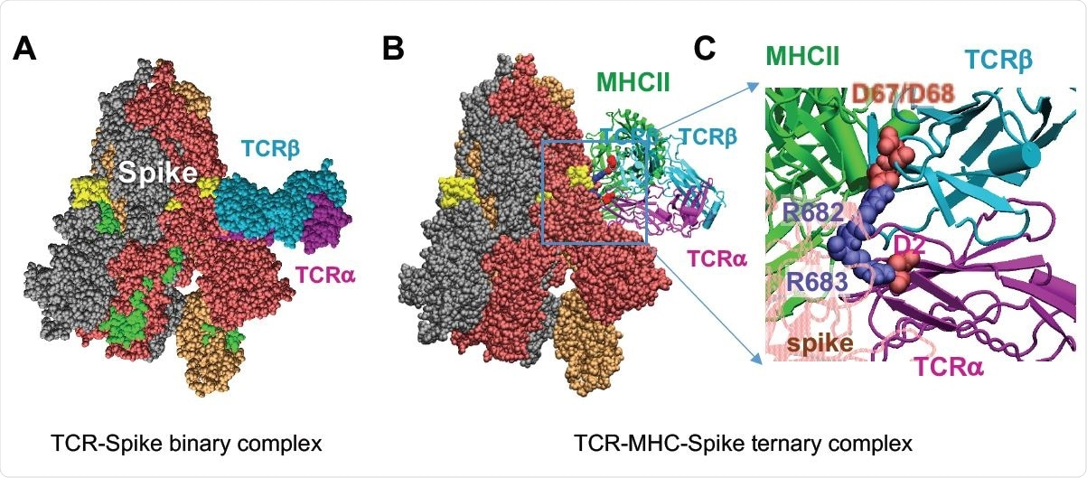 Complex Formation Between SARS-CoV-2 spike, TCR Containing Vβ11-2, and MHCII, and Comparative Analysis of TCR Vβ Sequences Homologous to Vβ11-2. (A) Binding of TCR (with Vβ chain sequentially identical to that of TRBV11-2 gene product) to the SAg-like region of SARS-CoV-2 spike. The TCR α- and β-chains are shown in magenta and cyan, respectively. The β-chain tightly binds the SAg-like region (E661 to R685; colored yellow). The spike subunits are colored dark red, beige, and gray; and the neurotoxin motif (299-356), green. (B-C) Ternary complex between spike, the same TCR and MHCII (green and the close-up view of the interfacial interactions between two basic residues, R682 and R683, on the SAg-like region of spike and the acidic residues (D67 and D68) of the TCR Vβ (D67 and D68) and TCRα.