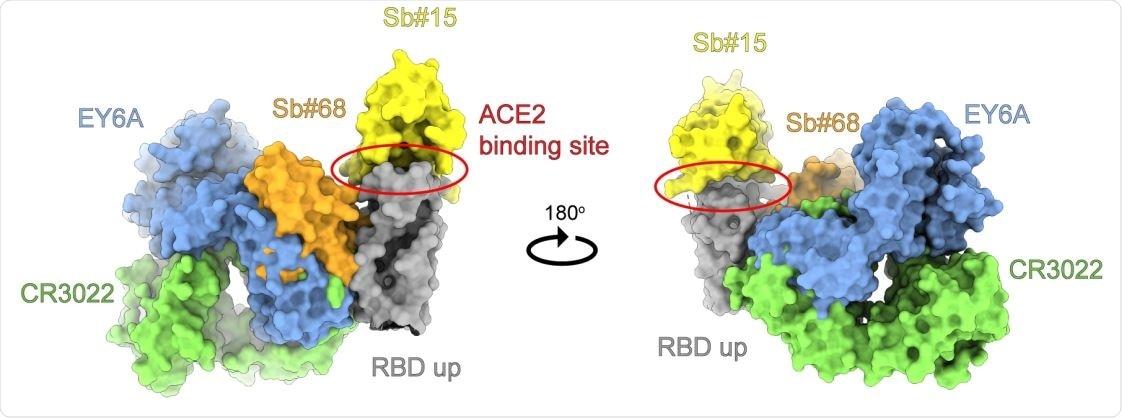 Anbody e associazione sybody ad un epitopo conservato di RBD. Superimposion dei sistemi cristallini del frammento favoloso umano CR3022 (identificazione del crossreacve an-SARS-CoV-1 di PDB: 6W41) ed il frammento favoloso umano EY6A (identificazione di PDB: 6ZCZ), entrambi i risoluti nel complesso con SARS-CoV-2 RBD, con i modelli di omologia degli sybodies Sb#15 e Sb#68 collocati nella mappa cryo-EM del conformaon simmetrico della punta 3up. Le strutture sono indicate di superficie e sono colorate come indicato.
