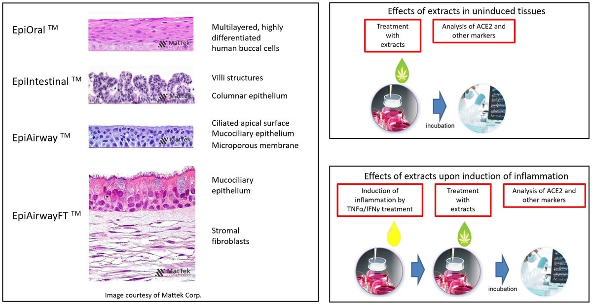 Overview of the experimental models and setups. H&E-stained cross sections are a courtesy of MatTek Life Sciences.