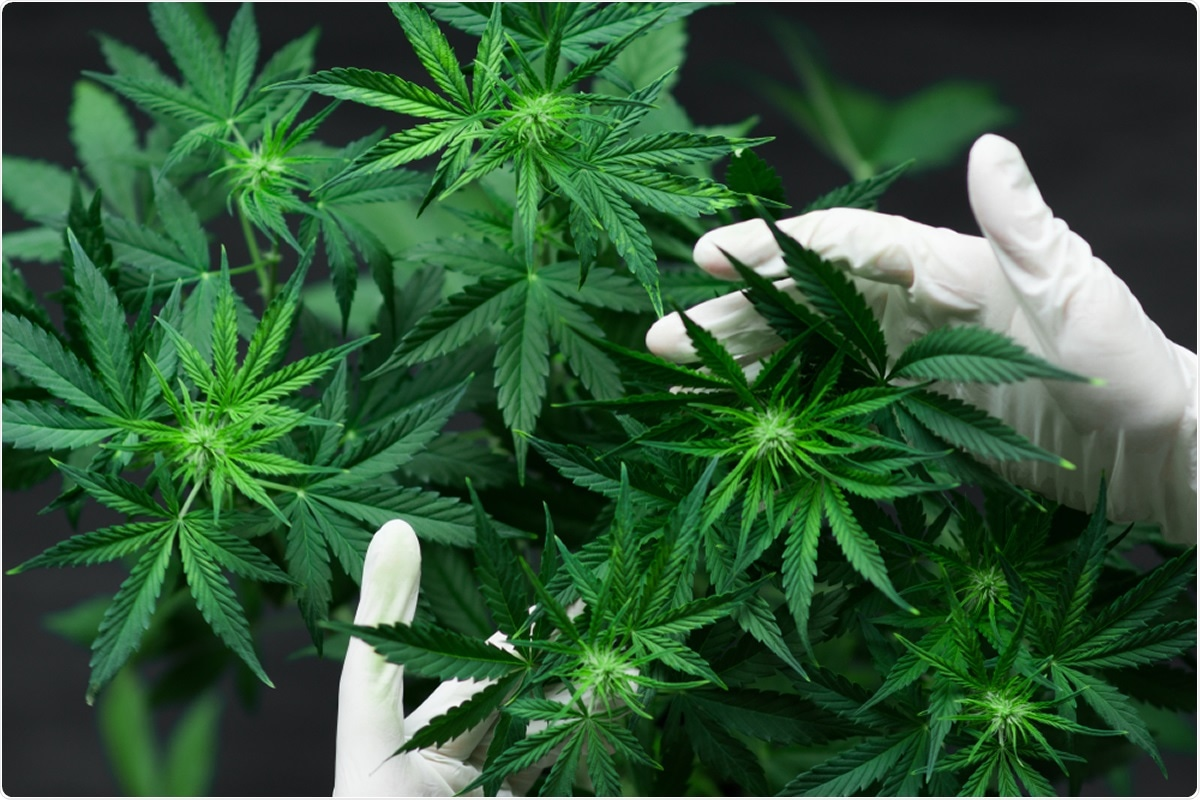 Study: In search of preventive strategies: novel high-CBD Cannabis sativa extracts modulate ACE2 expression in COVID-19 gateway tissues. Image Credit: Dmytro Tyshchenko / Shutterstock