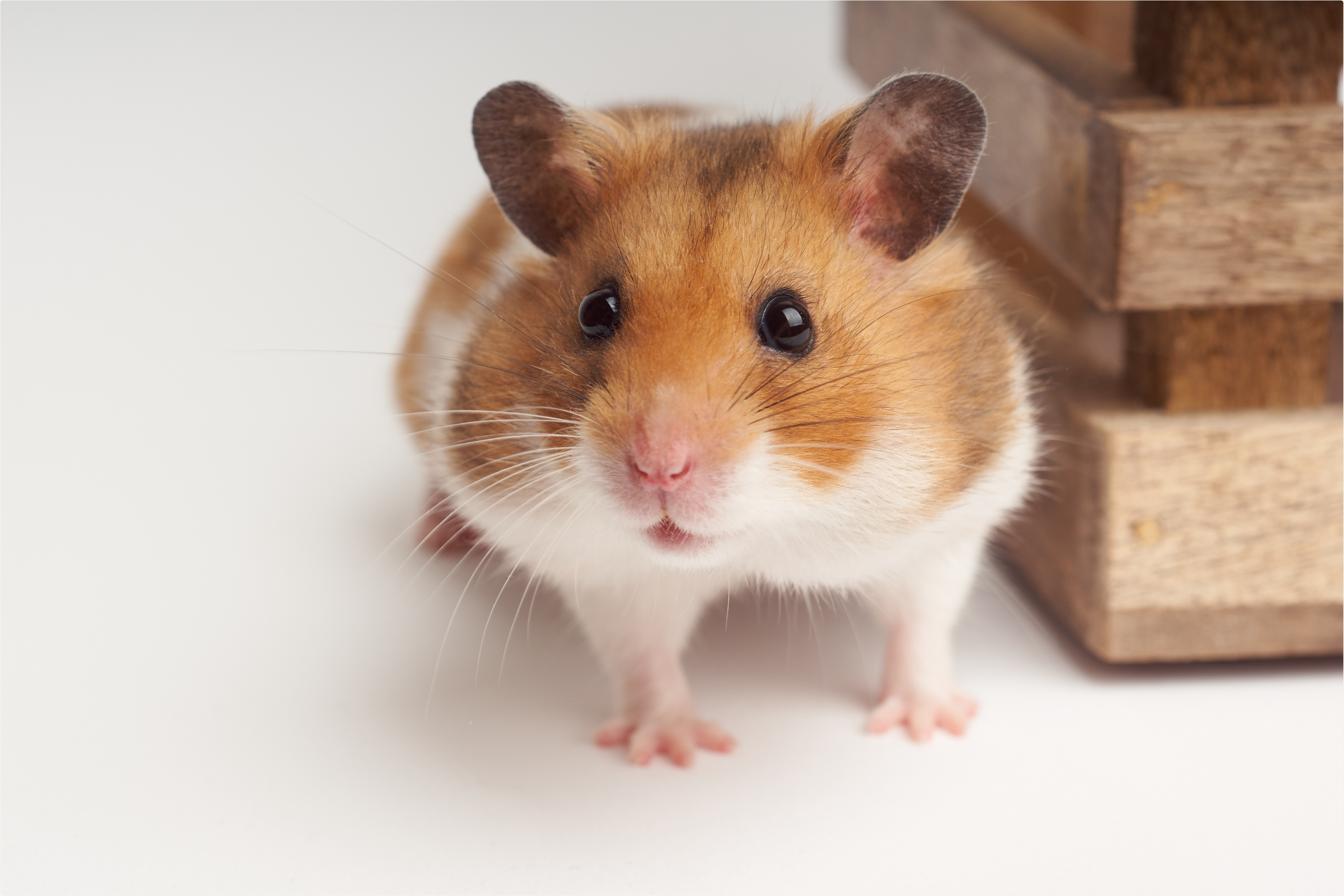 Study: Nafamostat Mesylate in lipid carrier for nasal SARS-CoV2 titer reduction in a hamster model. Image Credit: Johannes Menge / Shutterstock