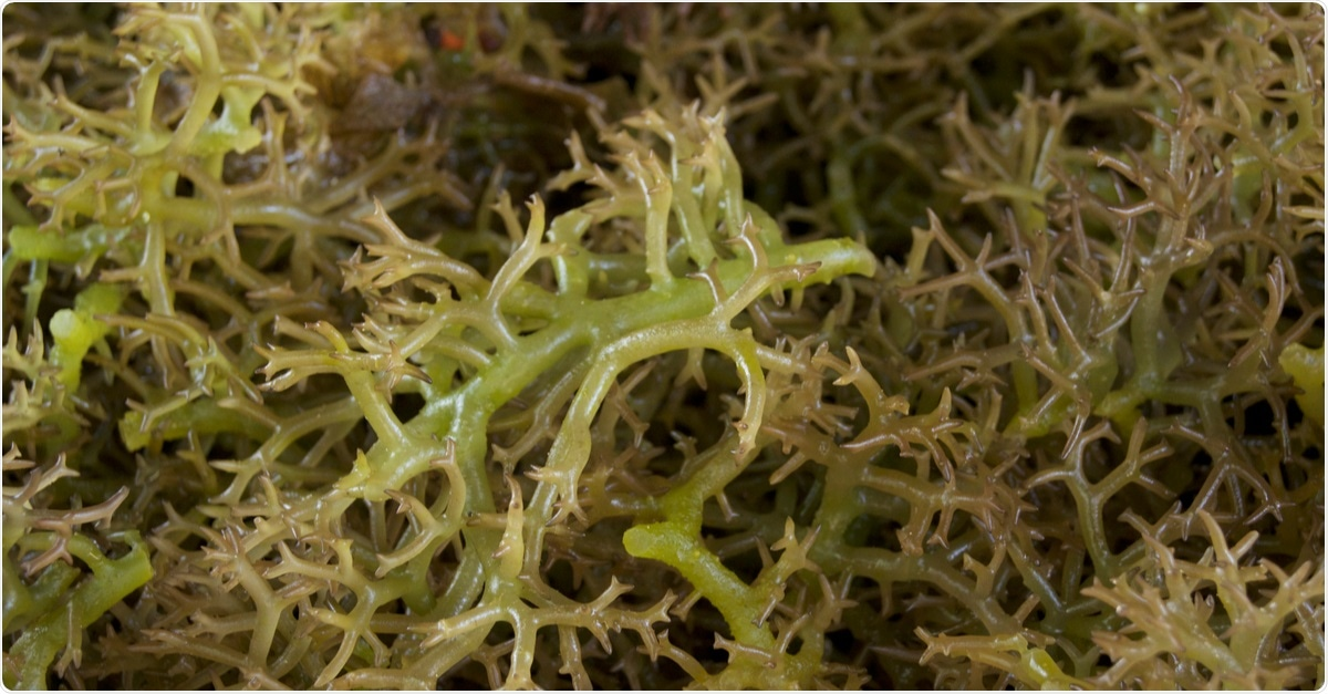 Image of fresh seaweed for carrageenan. Image Credit: Naz Images / Shutterstock