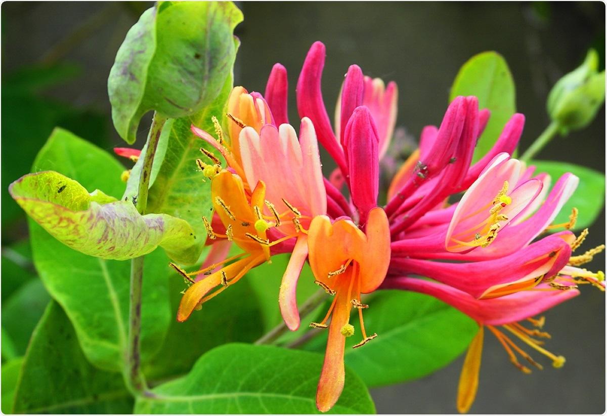 Close up Honeysuckle flowers. Image Credit: lenic / Shutterstock