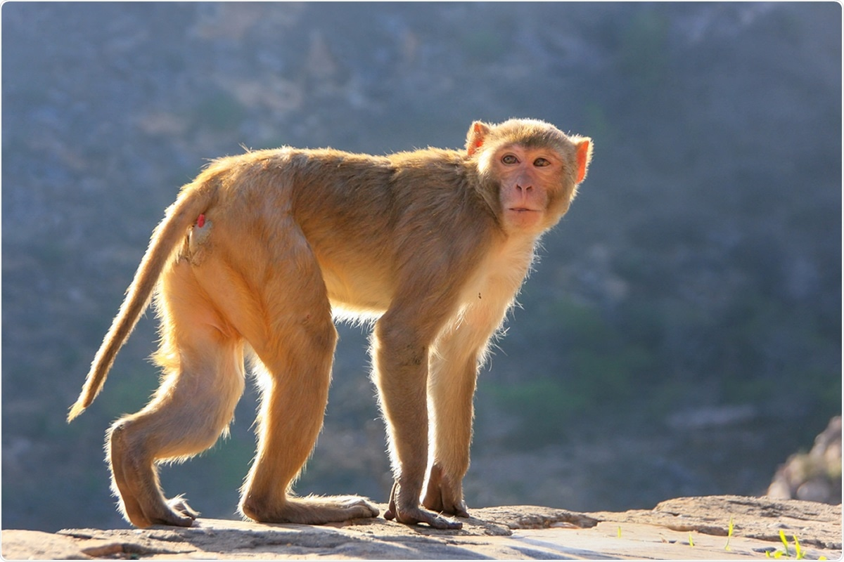 Study: Comparison of SARS-CoV-2 infection in two non-human primate species: rhesus and cynomolgus macaques. Image Credit: Don Mammoser / Shutterstock
