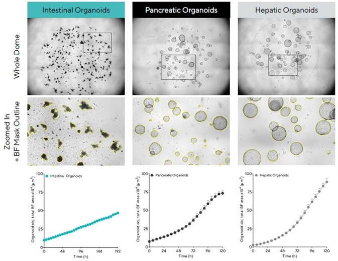 Acquisition and quantification of organoid growth in Matrigel® domes. Mouse intestinal (1:3 split, 50% Matrigel), pancreatic (1:5 split, 100% Matrigel®) and hepatic organoids (1:40 split, 100% Matrigel®) were embedded in Matrigel® domes in 24-well plates and imaged every 6 h in an Incucyte. Brightfield (BF) images of the entire Matrigel® dome (top) show organoid maturation 6 days post seeding. Note accurate segmentation (yellow outline mask) and distinct phenotypes of mature organoids (bottom). Time-course plots showing the individual well total BF area (μm2) over time (h) demonstrate cell type specific organoid growth. All images captured at 4X magnification. Each data point represents mean ± SEM, n = 4 wells.