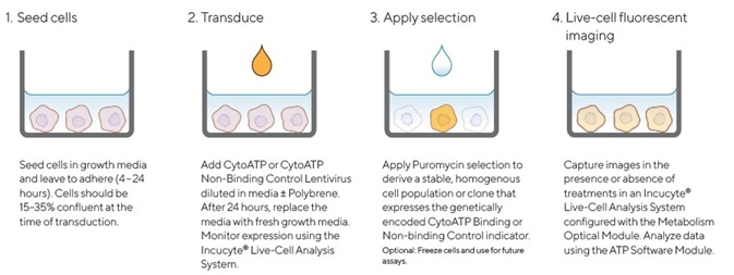 Quick guide for generating cell lines stably expressing Incucyte® CytoATP or Non-binding Control indicators.