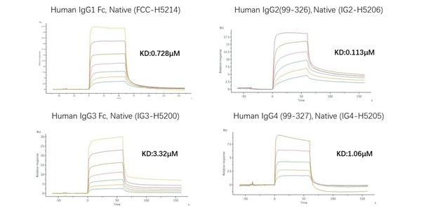 Supporting Therapeutic Antibody Development with Fc Receptor Affinity Testing