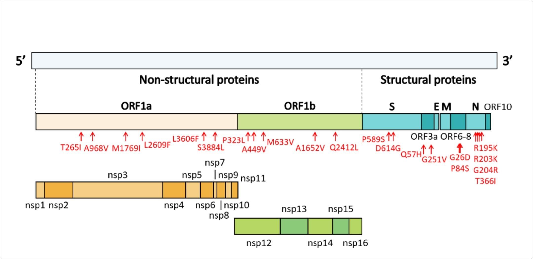 Genome organization of SARS-CoV-2