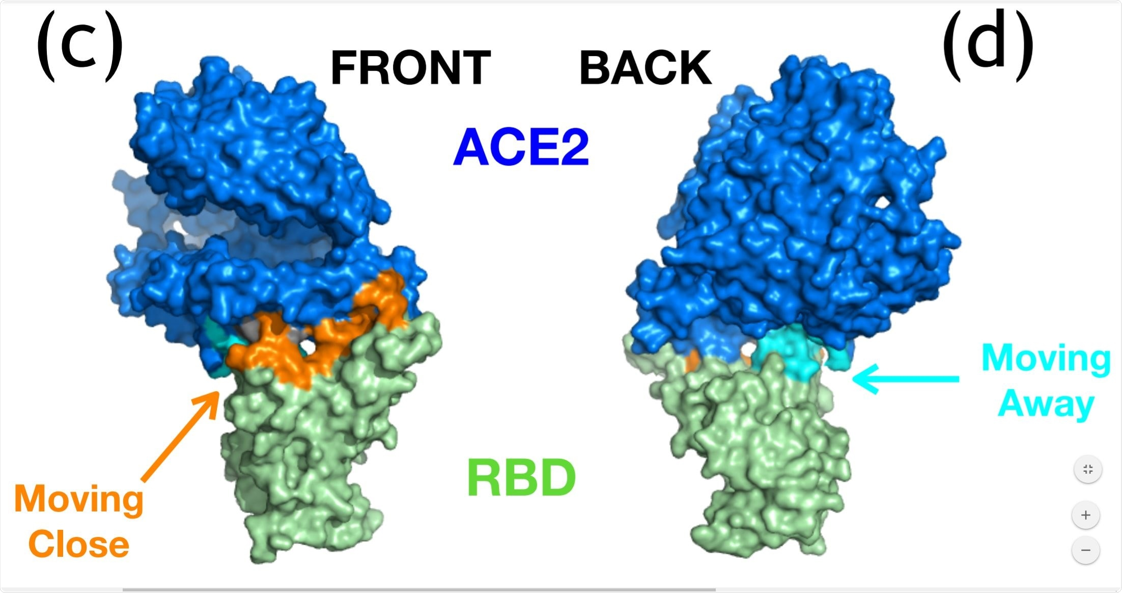 ENM analysis for ACE2-SARS-CoV-2