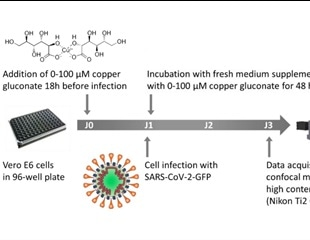 Copper gluconate supplementation could reduce SARS-CoV-2 infection in vitro