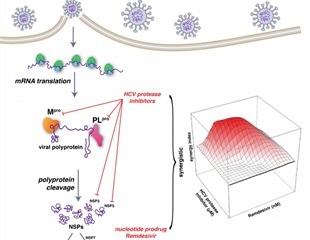 Hepatitis C virus drugs synergize with remdesivir against SARS-CoV-2 in vitro