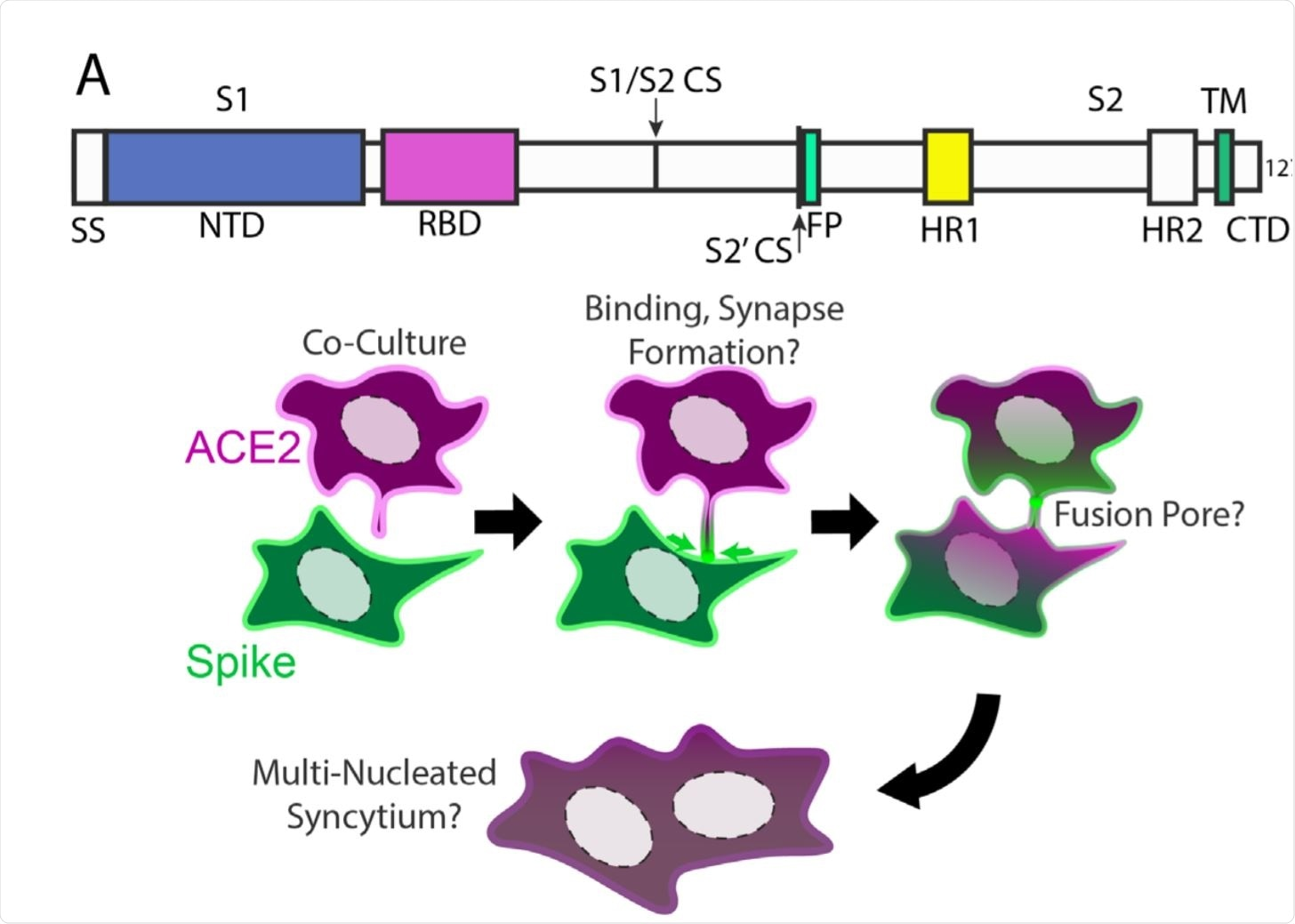 Syncytia derive from fusion events at synapse-like, spike-ACE2 protein clusters