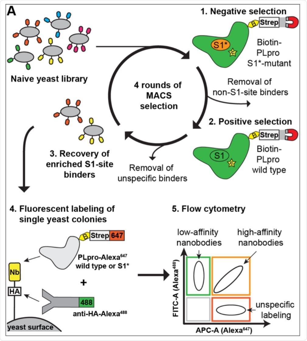 Development of nanobodies that inhibit Nsp3