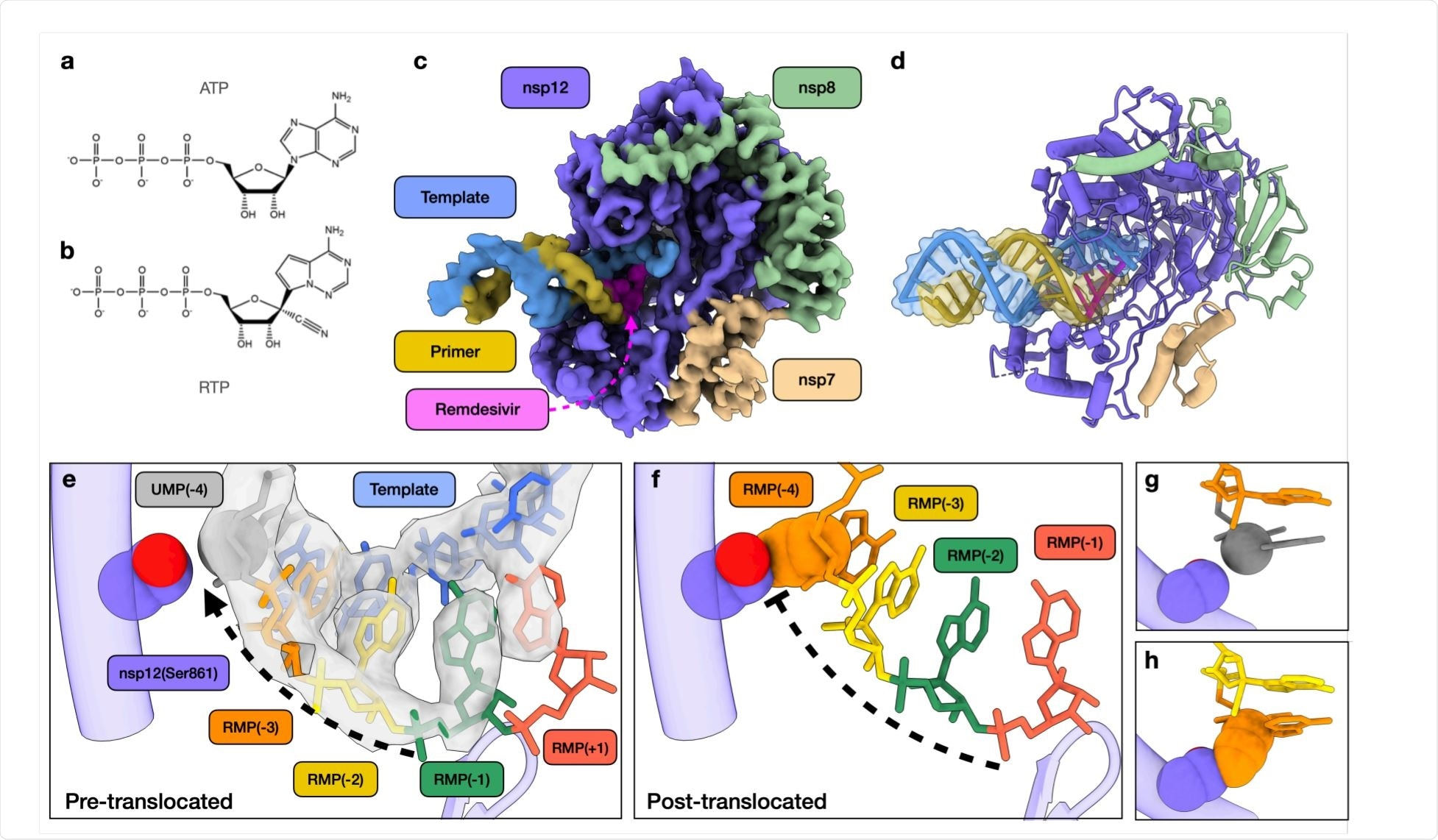 Structural basis of SARS-CoV-2 RdRp complex stalling by remdesivir.