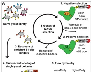 SARS-CoV-2 Nsp3 protease activity and nanobody inhibitor development