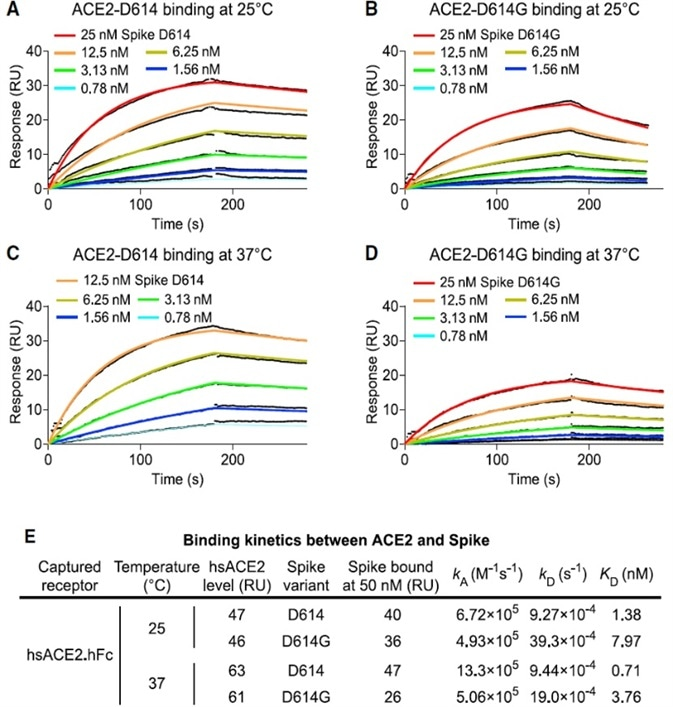SARS-CoV-2 D614G S Protein Variant Binds ACE2 Weaker than the Ancestral Protein