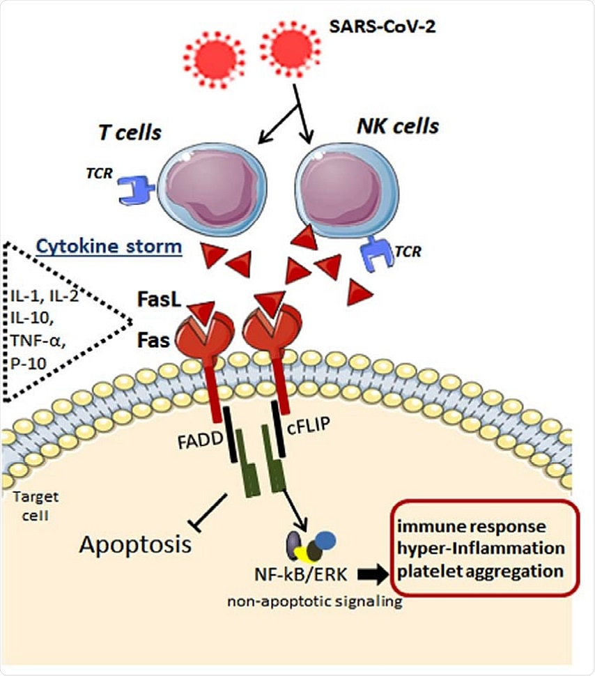 Possible mechanisms underlying the Fas-FasL-mediated signaling in the immune cells after SARS-CoV-2 infection. By infecting specific immune cells, the cytokine storm takes place with elevation in interleukins and chemokines such as IL-1, IL-2, IL-10, IFNs, TNF-α, IP-10, like others. In addition to inflammatory mediators, FasL ligand is highly released by these immune cells, which, in turn, bind to its Fas receptor in the target cell. Upon FasL binding, the apoptosis inhibitor cFLIP is upregulated at the post-translational level and is associated with TRAF1 and TRAF2 and with the kinases RIP and Raf-1, resulting in activation of NF-kB transcription factor and ERK signaling. These anti-apoptotic signals lead to potentiated pro-inflammatory effects via Fas engagement, while FasL increases activated human T cells' proliferation. Fas, death receptor; FasL, Fas ligand (tumor necrosis factor ligand superfamily member 6); NK, natural killer; T, type of lymphocyte; TCR, T-cell receptor; IL-1, interleukin1; IL-2, interleukin2; IL-10, interleukin 10; TNF-α, tumor necrosis factor alpha; IP-10, interferon gamma-induced protein 10; FADD, FAS-associated protein with death domain; cFLIP, FADD-like IL-1β-converting enzyme-inhibitory protein; NF-kB, nuclear factor kappa B; ERK, extracellular signal-regulated kinase.