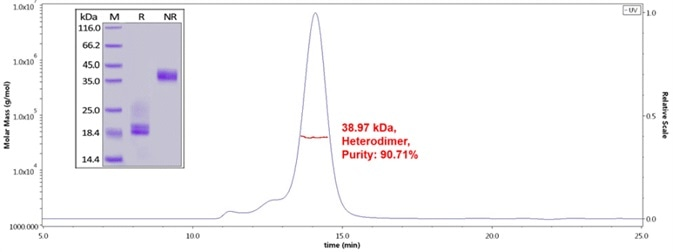 Human CD3E&CD3D Heterodimer Protein, His Tag&Tag Free (Cat. No. CDD-H52W1) on SDS-PAGE under reducing (R) and non-reducing(NR)condition. The purity of the protein was more than 85% and around 35-43 kDa verified by SEC-MALS.