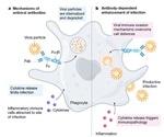 SARS-CoV-2感染:你知道抗体依赖增强(ADE)吗?