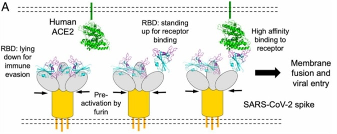 Spike protein receptor binding domain binding to ACE2 for viral entry [3].