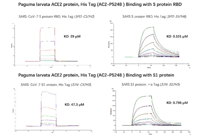 SPR verified that Paguma larvata ACE2 protein has a higher binding affinity to SARS than SARS-COV-2. The affinity constant of SARS S RBD and civet ACE2 can reach 0.101 µM, while the affinity constant of SARS-CoV-2 S RBD protein and civet ACE2 is only 29 µM. The affinity constant of SARS S1 protein and civet ACE2 can reach 0.796 µM, while the affinity constant of SARS-CoV-2 S1 protein and civet ACE2 is only 47.3 µM