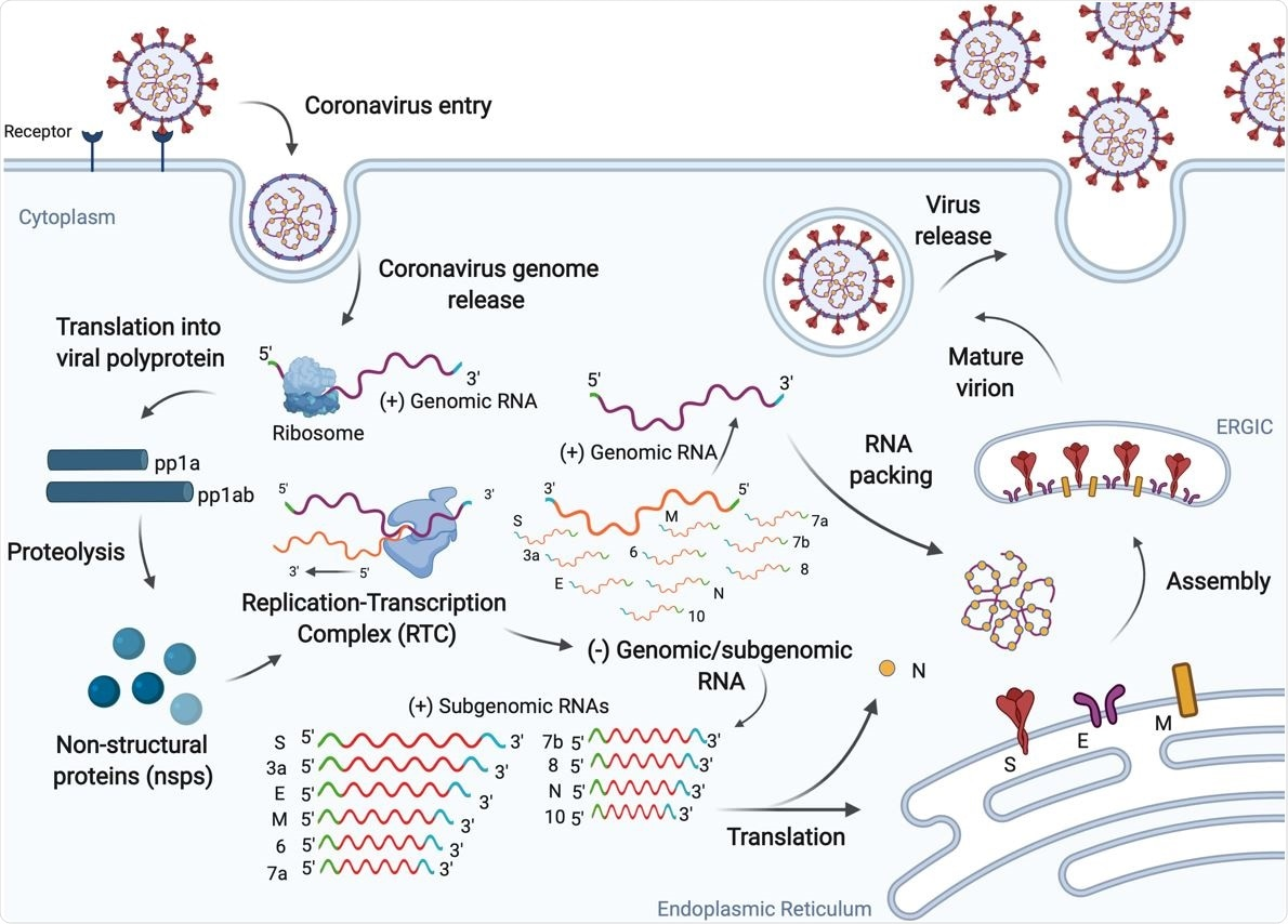 SARS-CoV-2 replication cycle. The virus enters human cells via endocytosis by binding the ACE2 receptor and releasing its positive-sense RNA genome. The virus exploits the host machinery to facilitate efficient viral replication, which ultimately leads to progression of infection.