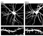 D614/G614 variants of SARS-CoV-2 affect neuronal transmission; G614 better at membrane fusion