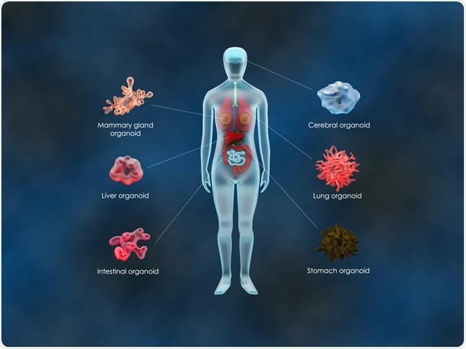 organoid