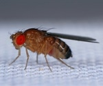 Researchers use fruit fly model to understand COVID-19-related neurological complications