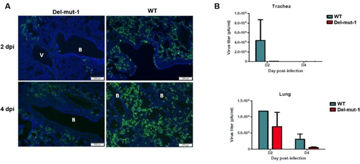Virus replication in the lung tissues of hamsters infected with either WT or Del-mut-1 SARS-CoV-2 virus. (A) Indirect immunofluorescence assay with antibodies against the N protein of SARS-CoV-2 virus (green). Blue: DAPI staining of cell nuclei. B: bronchiole, V: blood vessel. (B) Virus titration by plaque assay of lung and tracheal tissues collected on day 2 and 4 post-infection. Error bars represent mean ± s.d. (n=2 per group for each timepoint) Scale bar, 200 µm, dpi: days post-infection.