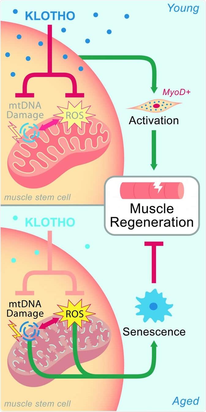 En músculo joven, los niveles de Klotho mantienen el mitochondia, que ayuda a la regeneración después de daño. Las disminuciones relativas a la edad de Klotho llevan al daño mitocondrial y a la cura empeorada. HABER