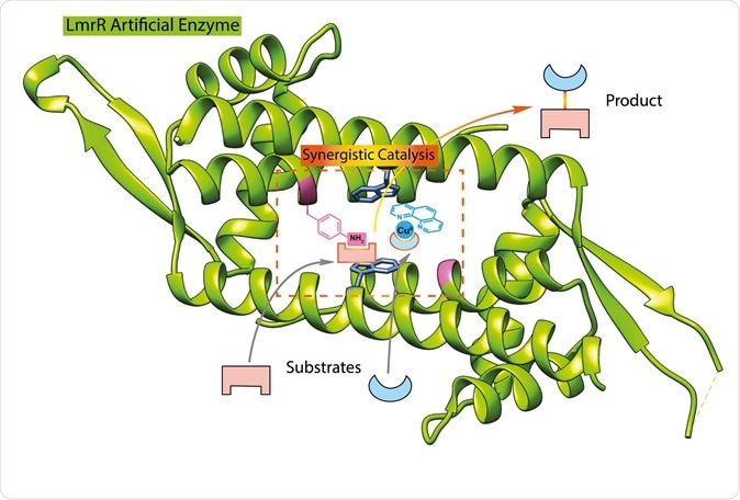 This illustration shows the structure of the LmrR protein (green), with the added catalytic groups binding to substrate.   Illustration Reuben Leveson-Gower