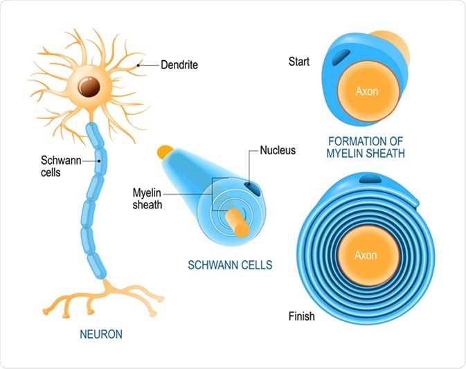 Schwann cells. Structure of neurolemmocytes. Anatomy of a typical human neuron. Image Credit: Designua / Shutterstock