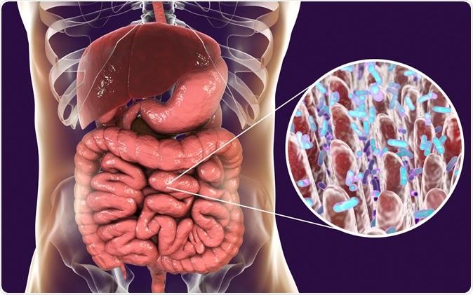 Intestinal microbiome, anatomy of human digestive system, 3D illustration Credit: Kateryna Kon / Shutterstock