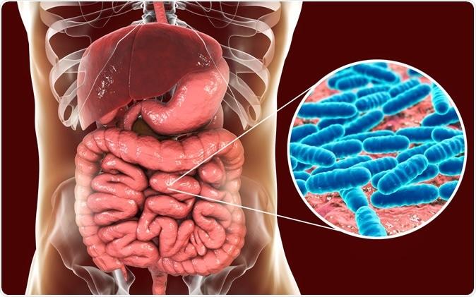 Normal flora of the small intestine, bacteria Lactobacillus, 3D illustration. Lactic acid bacteria. Image Credit: Kateryna Kon / Shutterstock