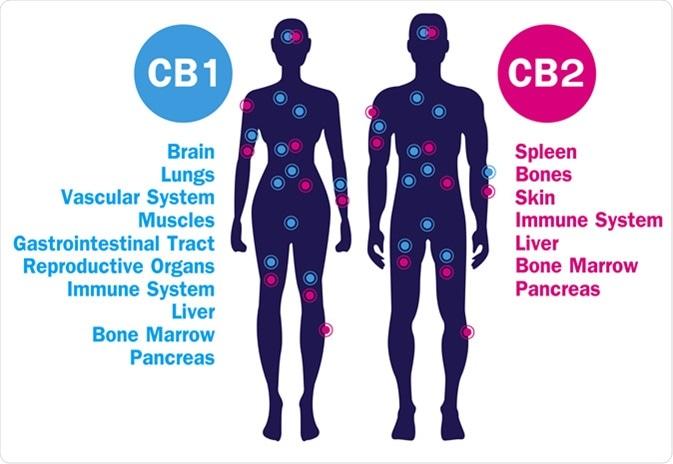 Attivo del sistema target di ricevitori umani CB1 e CB2 del endocannabinoid nel corpo umano. Credito di immagine: Wut.ti.kit/Shutterstock