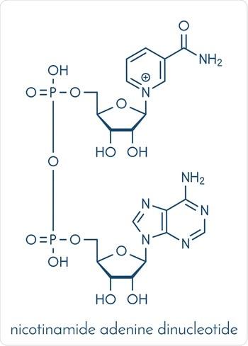 Nicotinamide adenine dinucleotide (NAD+) coenzyme molecule. Important coenzyme in many redox reactions. Image Credit: StudioMolekuul / SHutterstock