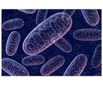 Researchers identify control of a mitochondrial protective mechanism