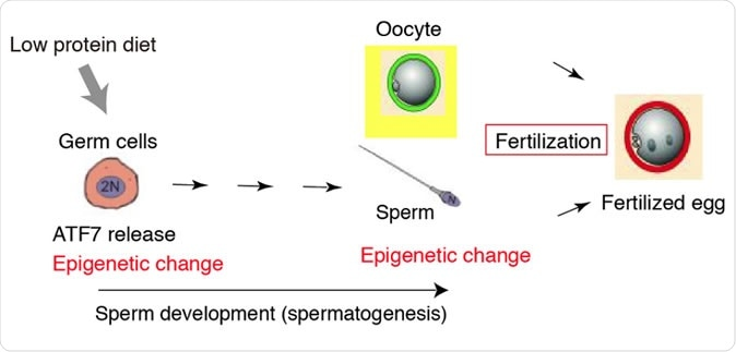 Parental diet affect the epigenetic status in sperm and health of offspring. Image Credit: RIKEN
