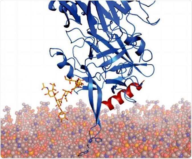 Modified BoNT/B (blue) is modeled onto membranes through anchoring with its two receptors (yellow and red), showing that the two tryptophan residues interact with membranes. Image Credit: From Fig 6D, Yin et al, 2020