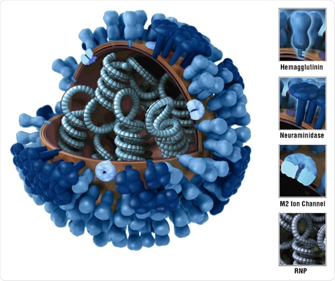 3D graphical representation of the biology and structure of a generic influenza virus, and are not specific to the 2009 H1N1 virus