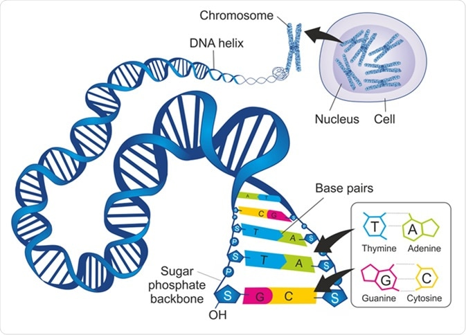 Schematic illustration shows the structure of double-stranded deoxyribonucleic acid (DNA) with base-pairs cytosine - guanine and thymine – adenine. Image Credit: Soleil Nordic / Shutterstock