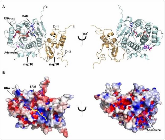 Estructura total de la ordenación ternaria de la subunidad SARS-CoV-2 nsp16/nsp10 del complejo A) (historietas anaranjadas) de las proteínas nsp16 (color cianita) y nsp10 en cuanto al casquillo del ARN (rojo), y SAM (azul). Las proteínas, nucleótidos se muestran en maneras de la historieta y del bastón, respectivamente. Las esferas negras, átomos de Zn2+ limitan a nsp10; El bastón magenta, adenosina limita a nsp16. B) Representación superficial electroestática de nsp16/de nsp10 con azul y rojo saturada en +5 kT/e y -5 kT/e, respectivamente. Una línea amarilla representa un camino provisional para la serie rio abajo del ARN calculada sobreponiendo las bases del objetivo en corriente, VP39, y complejos ternarios de la dengue NS5.