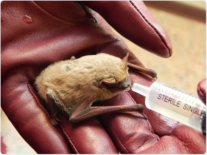 Pipistrellus kuhlii bat. Image Credit: Yakovchenko Iryna / Shutterstock